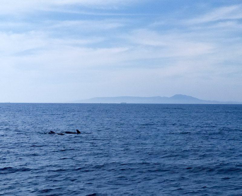 cetáceos en tarifa